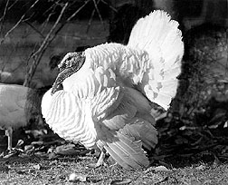 The Beltsville Small White turkey