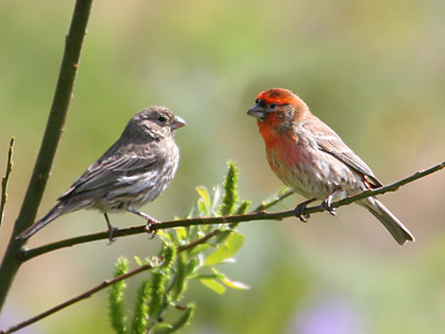 Finches In Florida. singing house finches that