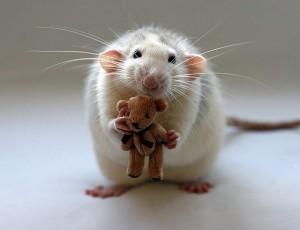 This rat picture has nothing to do with the post but I think it's cute