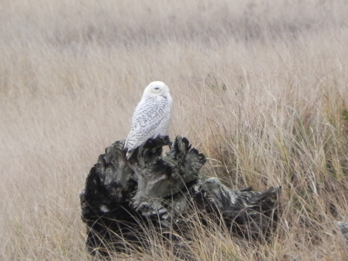 Snowy Owl at Astoria, Oregon